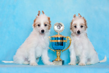 Chinese crested puppies